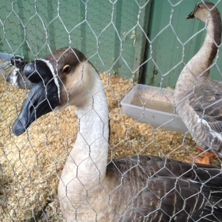 Goose at the Lynden Fair